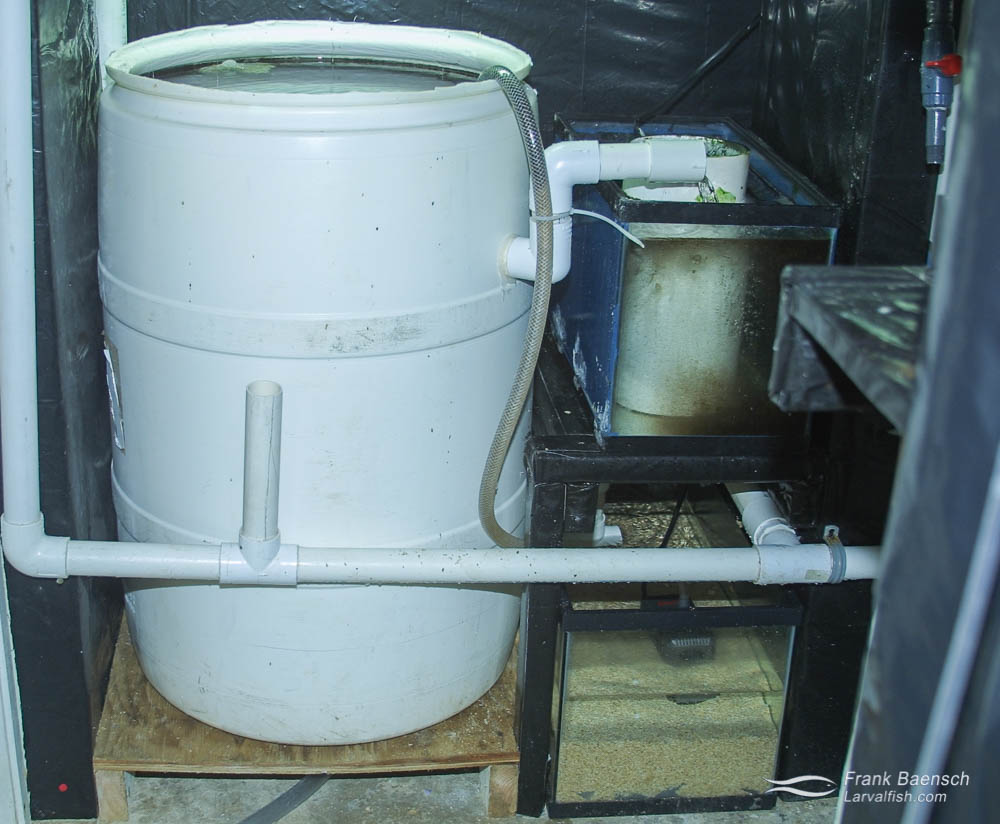 Barrel system (55 gallon) used to spawn Centropyge broodstock