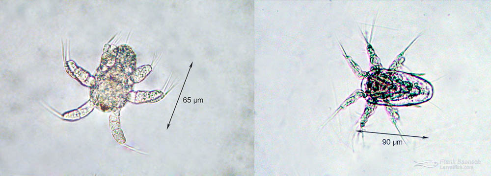 Copepods nauplii used to feed early stage Centropyge larvae